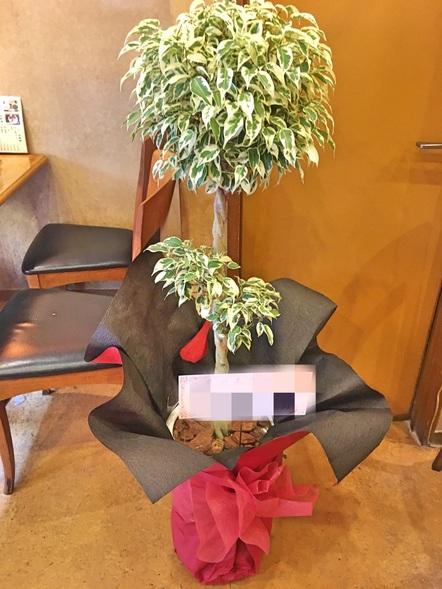 ベンジャミン スターライト / 観葉植物