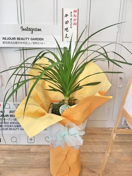 ドラセナ カンボジアーナ / 鉢花