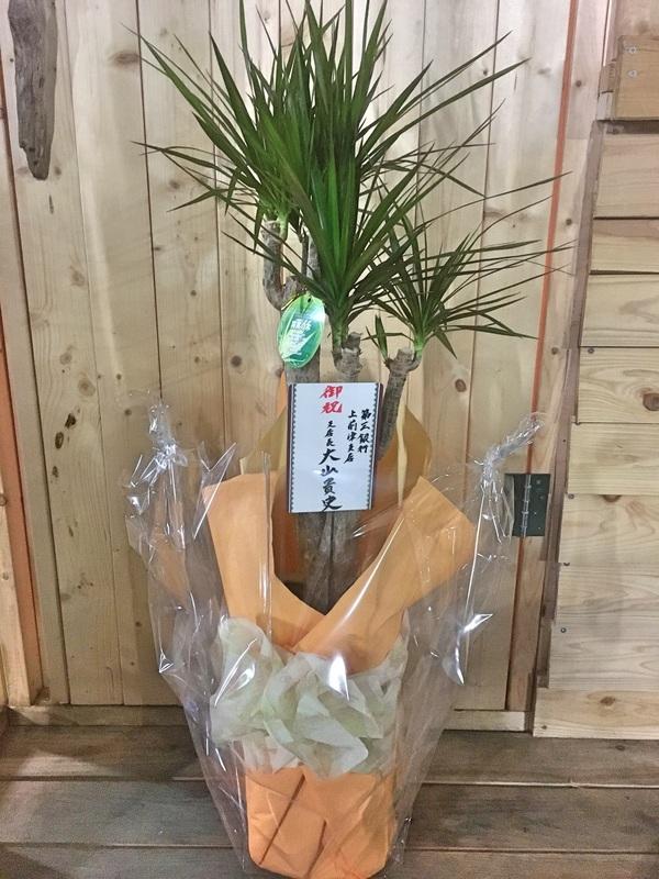 ドラセナ コンシンナ / 鉢花