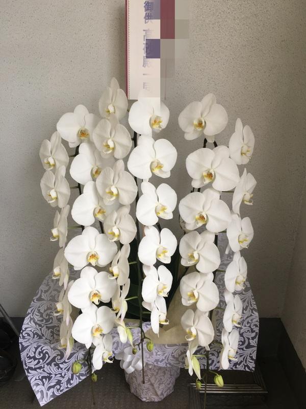 胡蝶蘭 / 生花