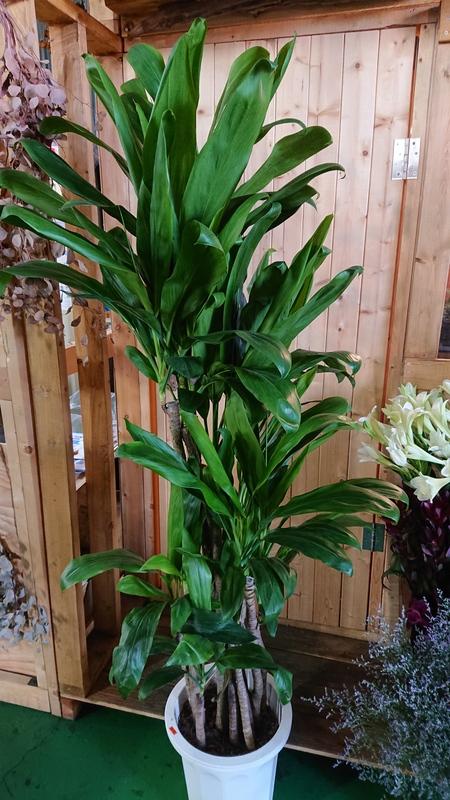 ドラセナ / 観葉植物