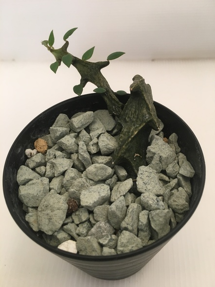 セロペギア ボッセリ / 鉢花