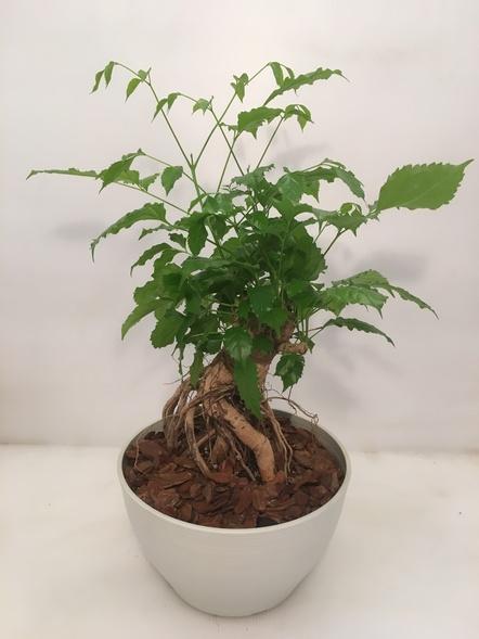 ヘテロパナックス / 観葉植物