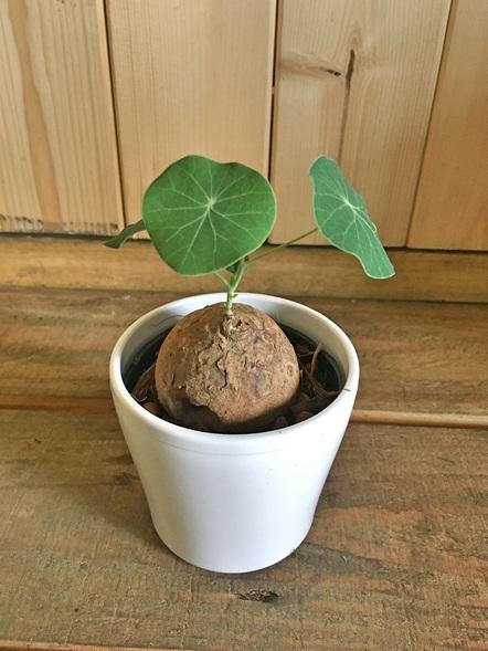 ステファニア エレクタ / 塊根植物