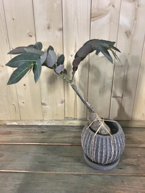 フィランサス ミラビリス / 塊根植物